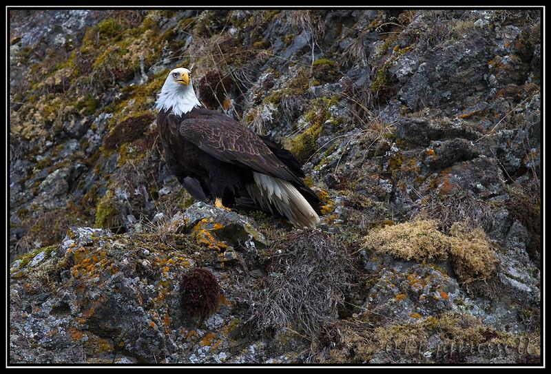 Adult bald eagle on the cliffside