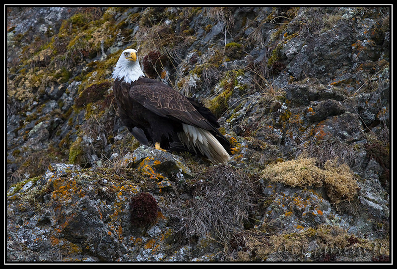Adult bald eagle on the cliffside