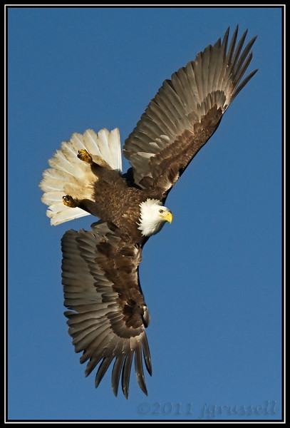 Adult bald eagle banking