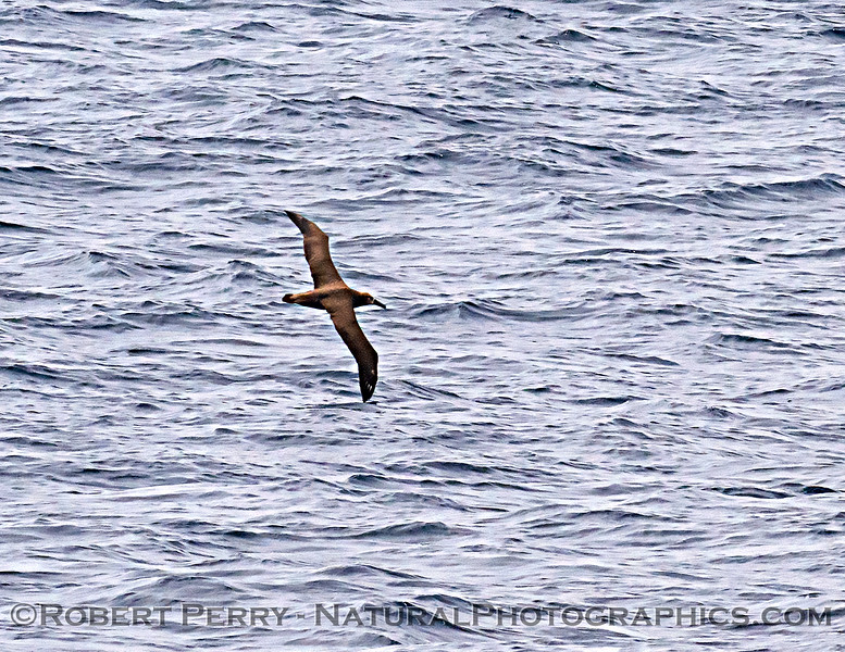 Phoebastria nigripes Black-footed albatross 2021 08-14 SB Channel ACS--0002