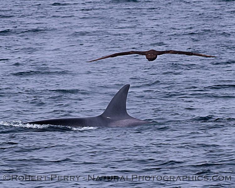 Orcinus orca & Phoebastria nigripes 2018 04-26 Monterey-d-0016