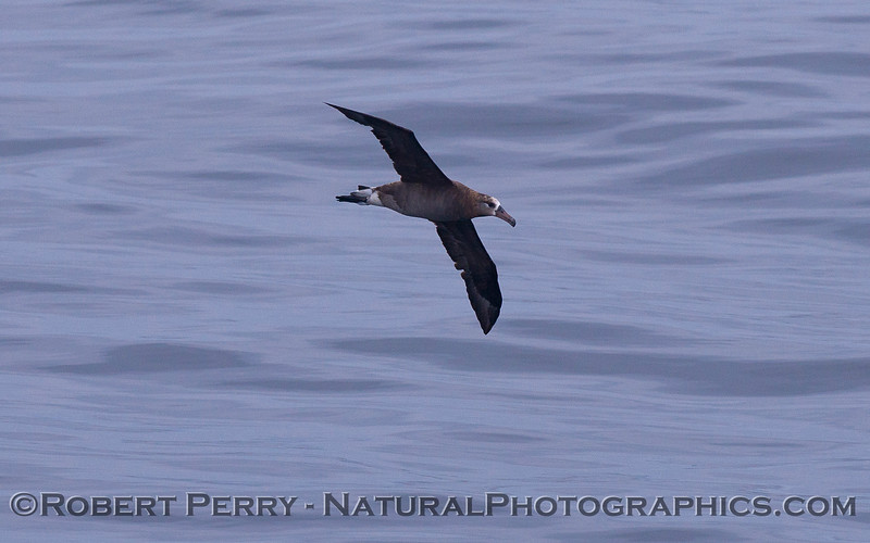 Phoebastria nigripes Black-footed albatross 2011 07-23 SC Bight - 001