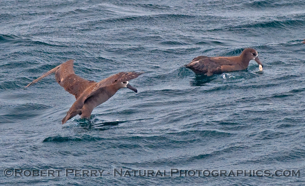 Black footed albatross (Phoebastria nigricans) - two, one feeding on squid chum.