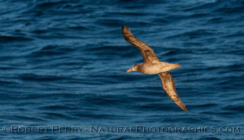 Black footed albatross soaring.