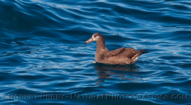 Black footed albatross sitting on blue water.