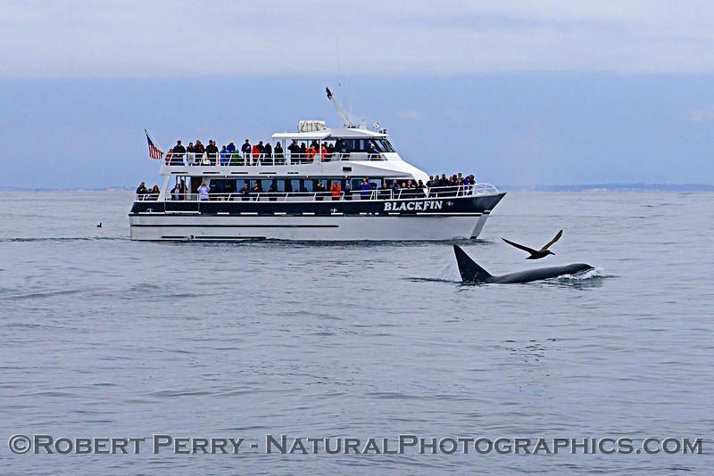 Orcinus orca & Phoebastria nigripes with vessel Blackfin 2018 04-26 Monterey-b-0057