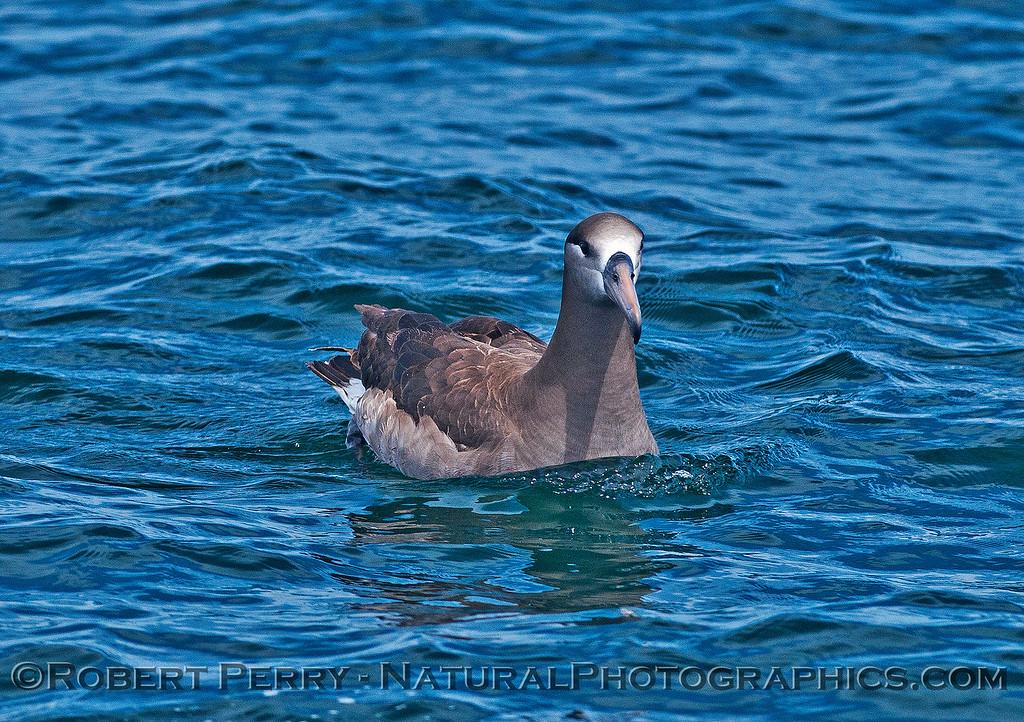 Phoebastria nigripes on water CLOSE 2016 04-19 Monterey Bay-z-013
