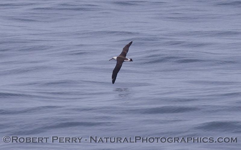 Phoebastria immutabilis Laysan albatross 2011 07-23 SC Bight - 003