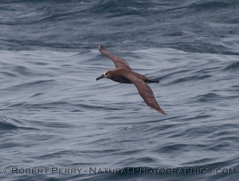 Black footed albatross (Phoebastria nigricans)