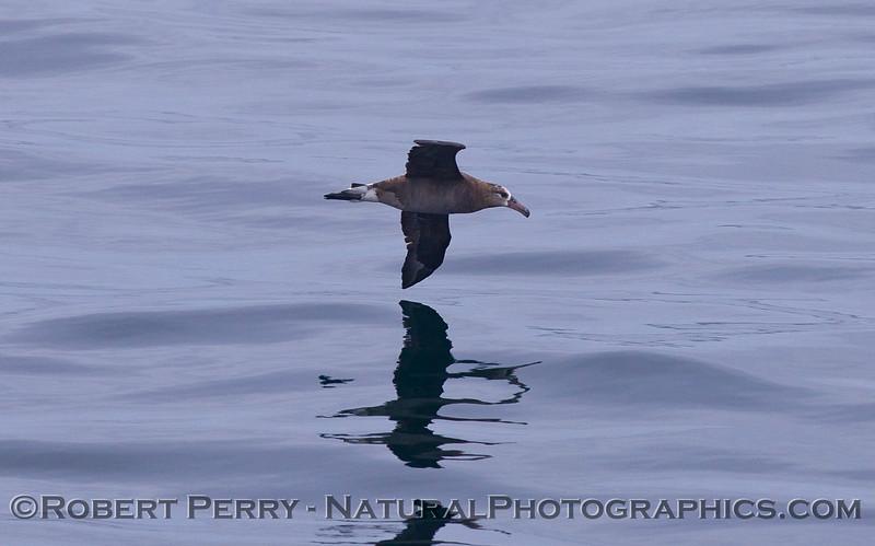 Phoebastria nigripes Black-footed albatross 2011 07-23 SC Bight - 002