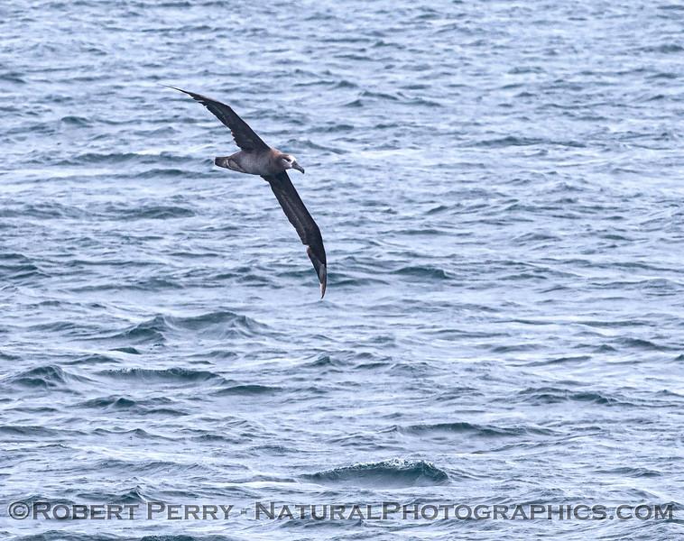 Phoebastria nigripes Black-footed albatross 2021 08-14 SB Channel ACS-c-0027