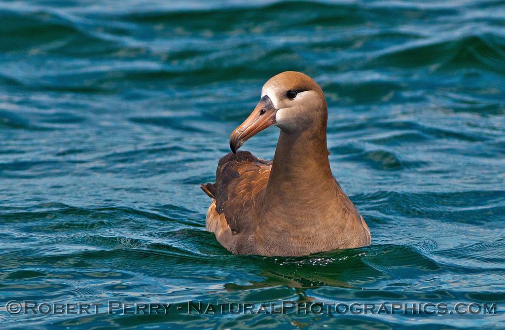 Phoebastria nigripes on water CLOSE 2016 04-19 Monterey Bay-z-017