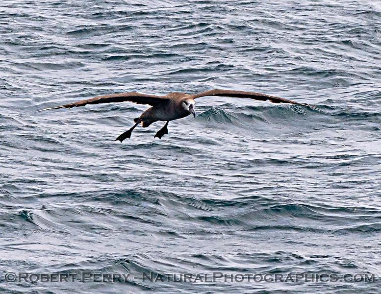Phoebastria nigripes Black-footed albatross 2021 08-14 SB Channel ACS-c-0047