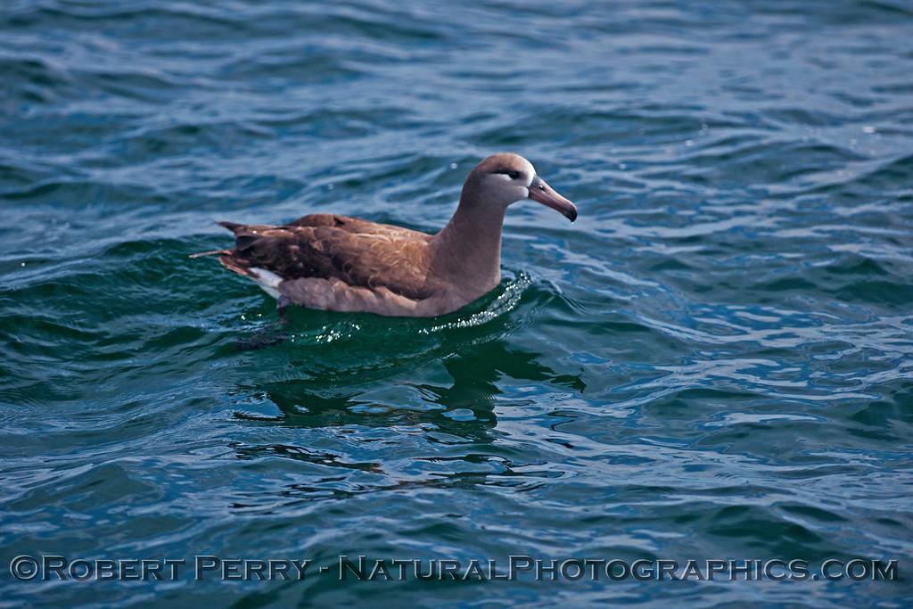 Phoebastria nigripes on water CLOSE 2016 04-19 Monterey Bay-z-022