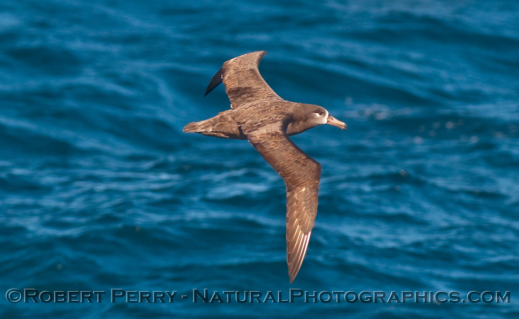 Black footed albatross (Phoebastria nigricans) - close fly-by.