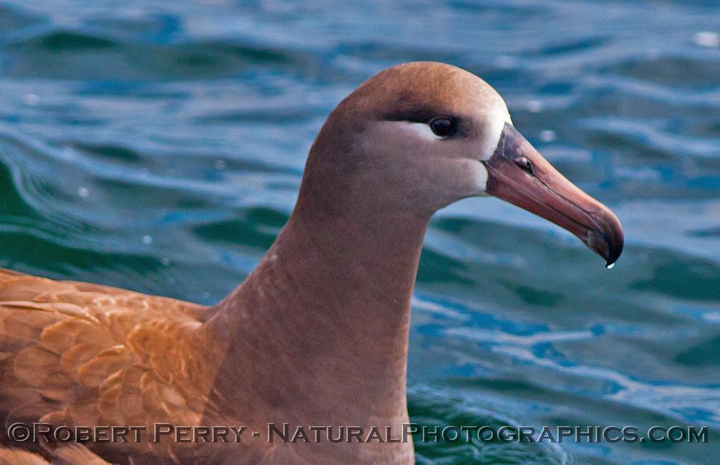 Phoebastria nigripes on water HEAD- CLOSE 2016 04-19 Monterey Bay-z-023