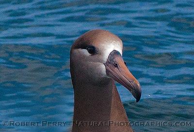 Phoebastria nigripes on water CLOSE 2016 04-19 Monterey Bay-z-010
