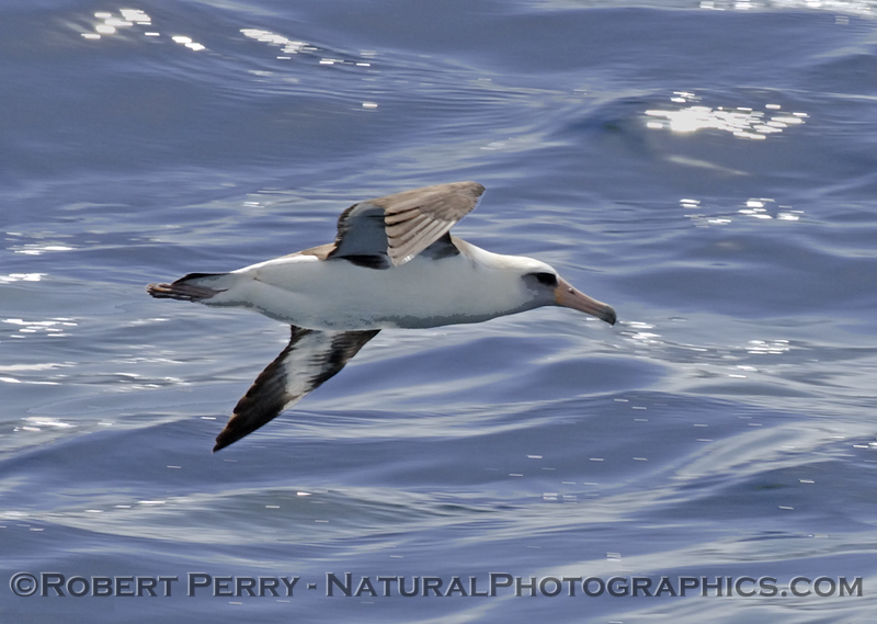 Laysan's albatross (Phoebastria immutabilis).