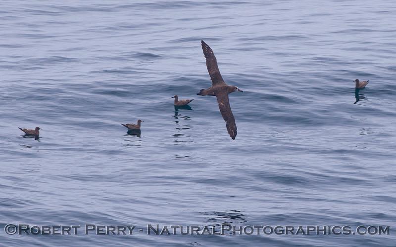 Phoebastria nigripes Black-footed albatross 2011 07-23 SC Bight - 003