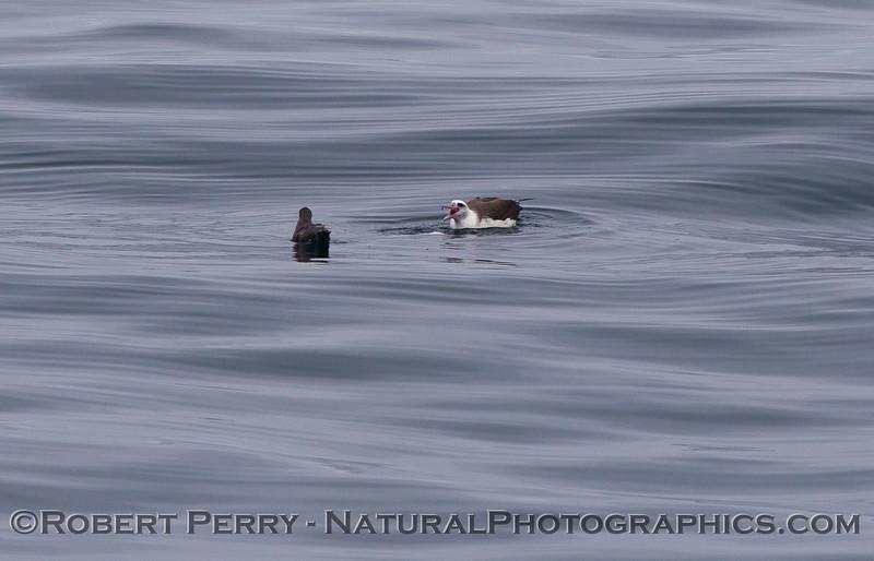 Phoebastria immutabilis Laysan albatross 2011 07-23 SC Bight - 001