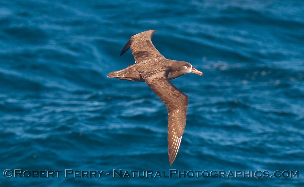 Phoebastria nigripes in flight 2009 11-15 SC Bight b - 002