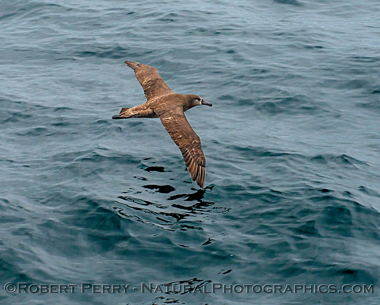 Phoebastria nigripes 2018 04-26 Monterey-b-0013