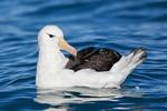 Black-browed Albatross (Thalassarche melanophris)