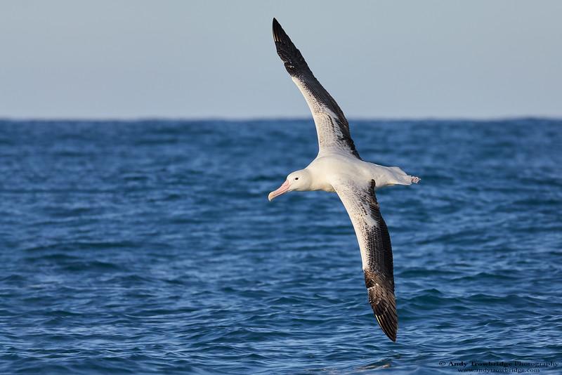 Southern Royal Albatross (Diomedea epomophora)