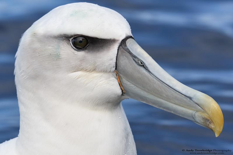 White-capped Albatross (Thalassarche cauta steadi)