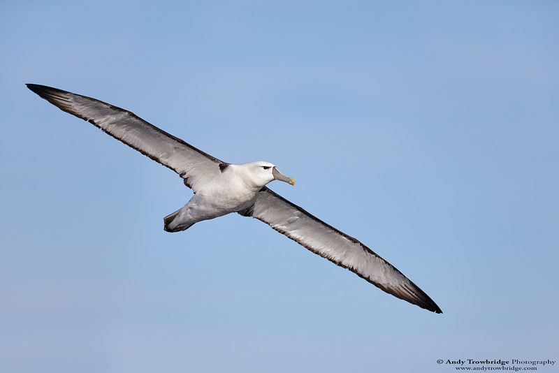 White-capped Albatross (Thalassarche cauta steadi)