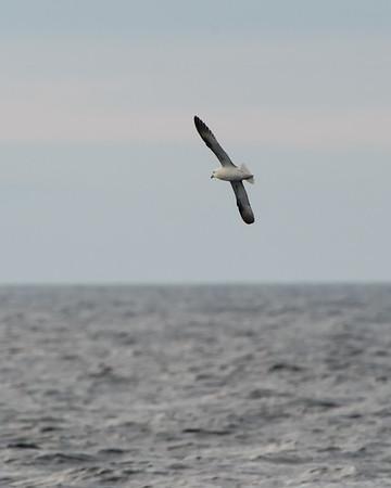 Albatrosses, Petrels, & Shearwaters