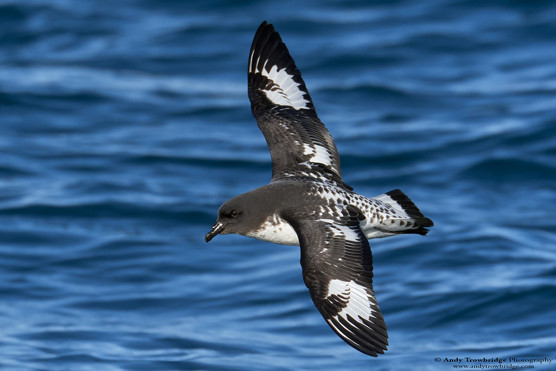 Cape Petrel (Daption capense capense)