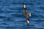 Cape Petrel (Daption capense capense)