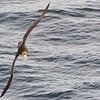 Southern Giant Petrel - Macronectes giganteus (Petrel gigante antartico)