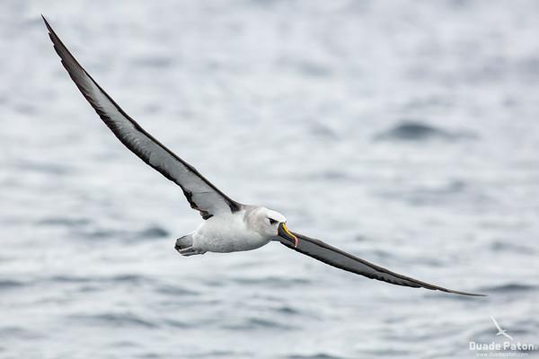 Atlantic Yellow-nosed Albatross