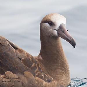 Black-footed Albatross - Half Moon Bay Pelagic, CA, USA