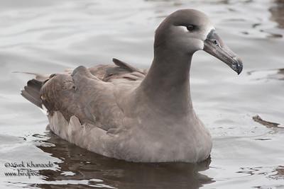Black-footed Albatross - Half Moon Bay, CA, USA