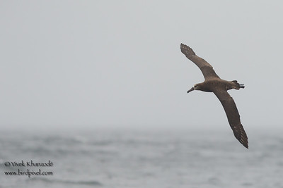 Black-footed Albatross - SCVAS Farallones Pelagic trip - off Half Moon Bay, CA, USA