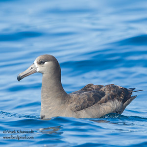 Black-footed Albatross - Monterey, CA, USA