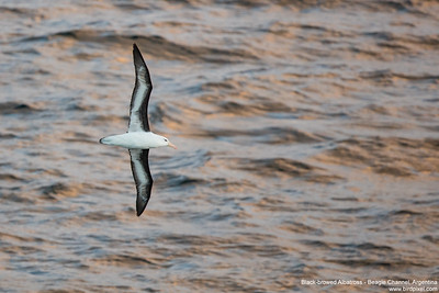 Black-browed Albatross - Beagle Channel, Argentina
