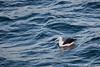 Black-browed Albatross - Beagle Channel, Argentina