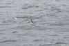Black-browed Albatross - Chile