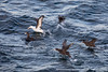 Black-browed Albatross and Southern Giant Petrels - Beagle Channel, Argentina