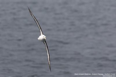 Black-browed Albatross - Drake's Passage, Southern Ocean
