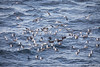Feeding frenzy with Kelp Gulls, Southern Giant Petrels and Black-browed Albatrosses - Beagle Channel, Argentina