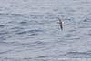 Gray-headed Albatross - Drake's Passage, Southern Ocean