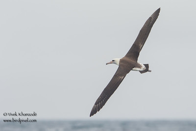 Laysan Albatross - SCVAS Farallones Pelagic trip - Half Moon Bay, CA, USA