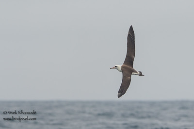 Laysan Albatross -  Farallon National Wildlife Reguge,  CA, USA