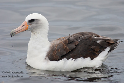 Laysan Albatross - Half Moon Bay, CA, USA