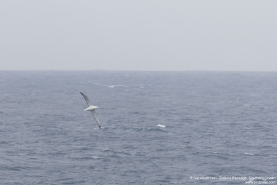 Royal Albatross - Drake's Passage, Southern Ocean